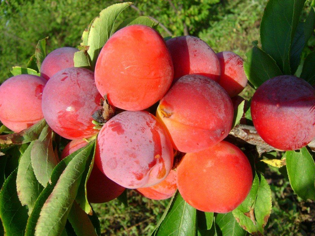 Выращивание сливы маньчжурская красавица