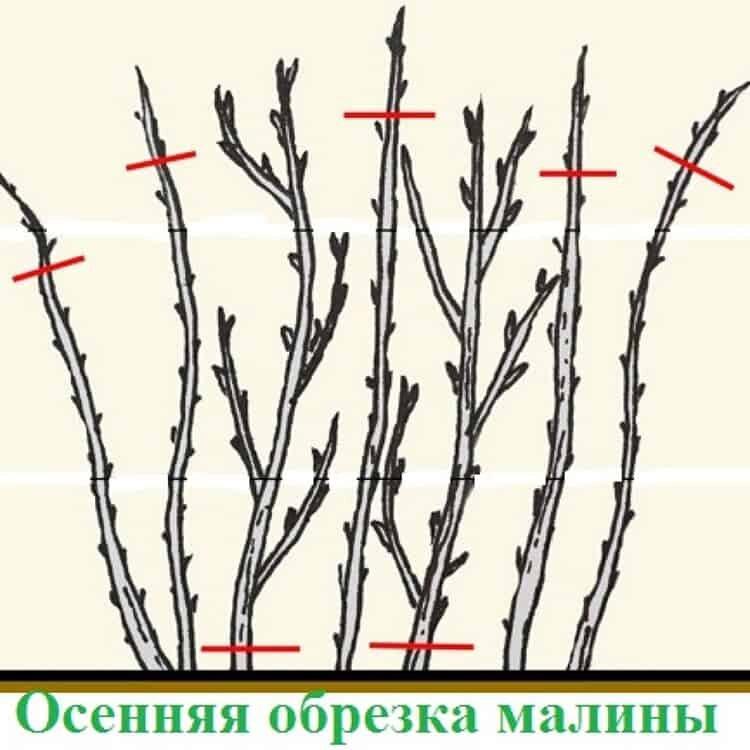 Уход за малиной весной после зимы, советы бывалых садоводов, как правильно ухаживать, чтобы был хороший урожай, прореживание побегов, надо ли перекапывать почву