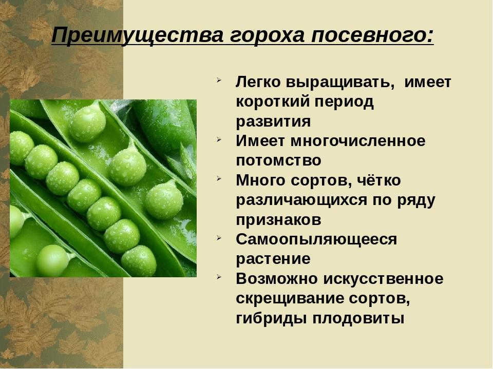 К какому семейству относится горох: овощ, фрукт или бобовые, описание растения