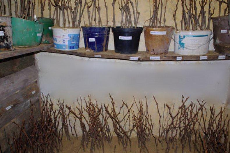 Черенки хранение винограда на зиму: расписываем по порядку
