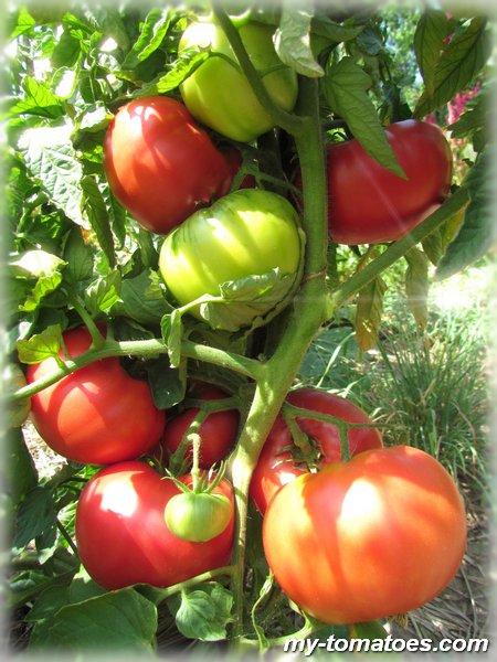 Томат розе: характеристика и описание сорта, отзывы, фото, урожайность