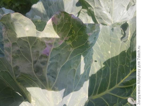 Почему у капусты листья стали фиолетовыми: причины и что делать, чем подкормить