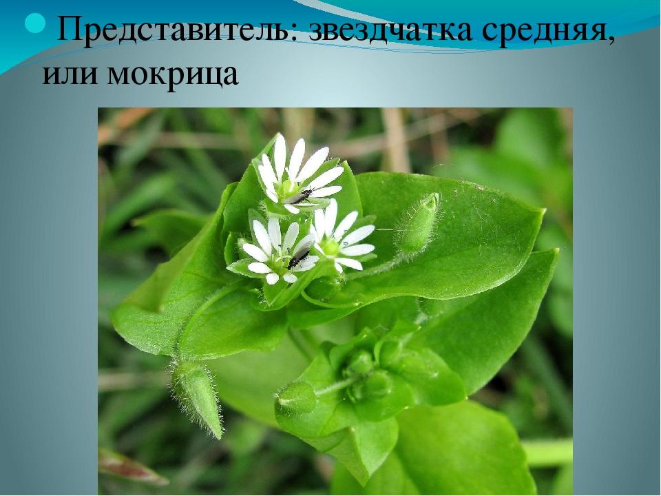 Звездчатка или мокрица — огородный сорняк, который лечит