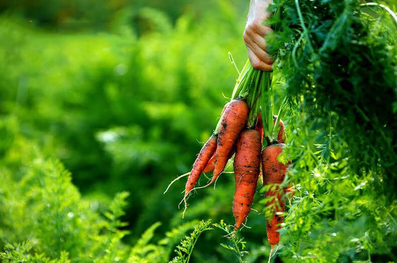Когда убирать морковь с грядки: сроки и признаки созревания