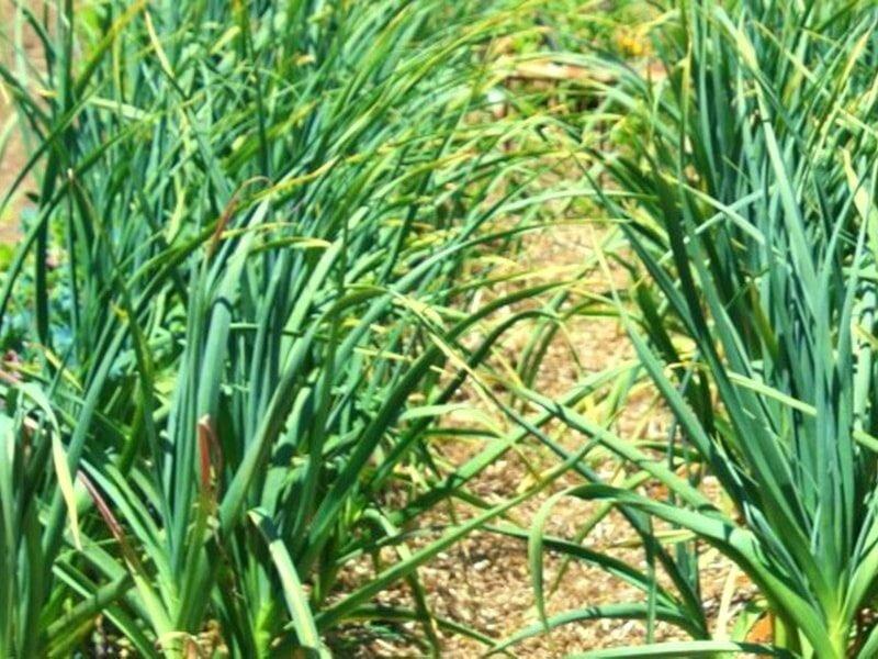 Чем подкормить лук весной, посаженный под зиму, для хорошего урожая