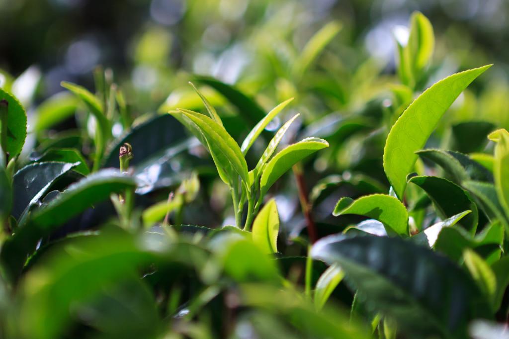 Настоящий чайный куст на подоконнике. виды комнатного чая. выращивание и уход в домашних условиях
