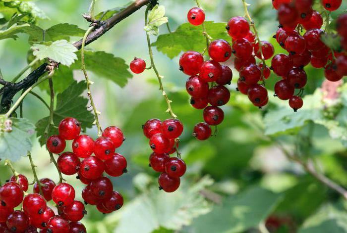 Смородина красная «натали» — описание сорта, фото, посадка и уход