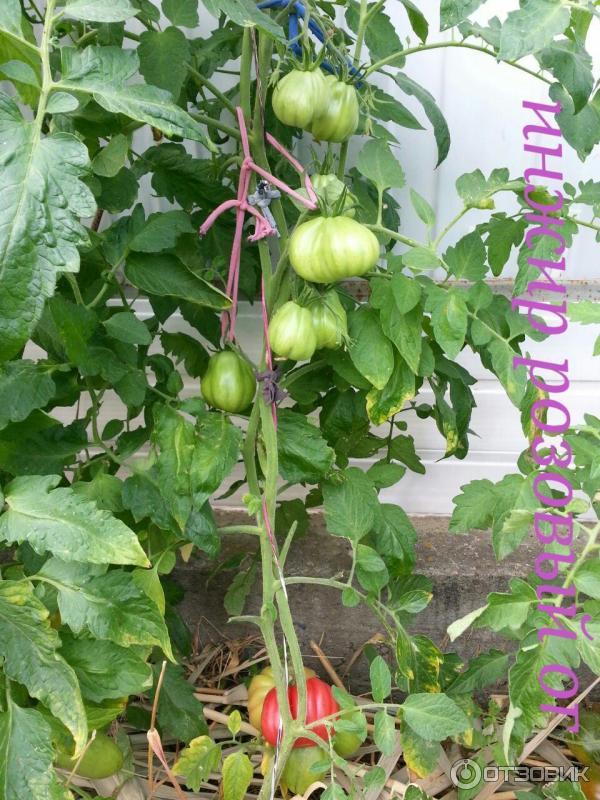Томат инжир — розовый характеристика и описание сорта