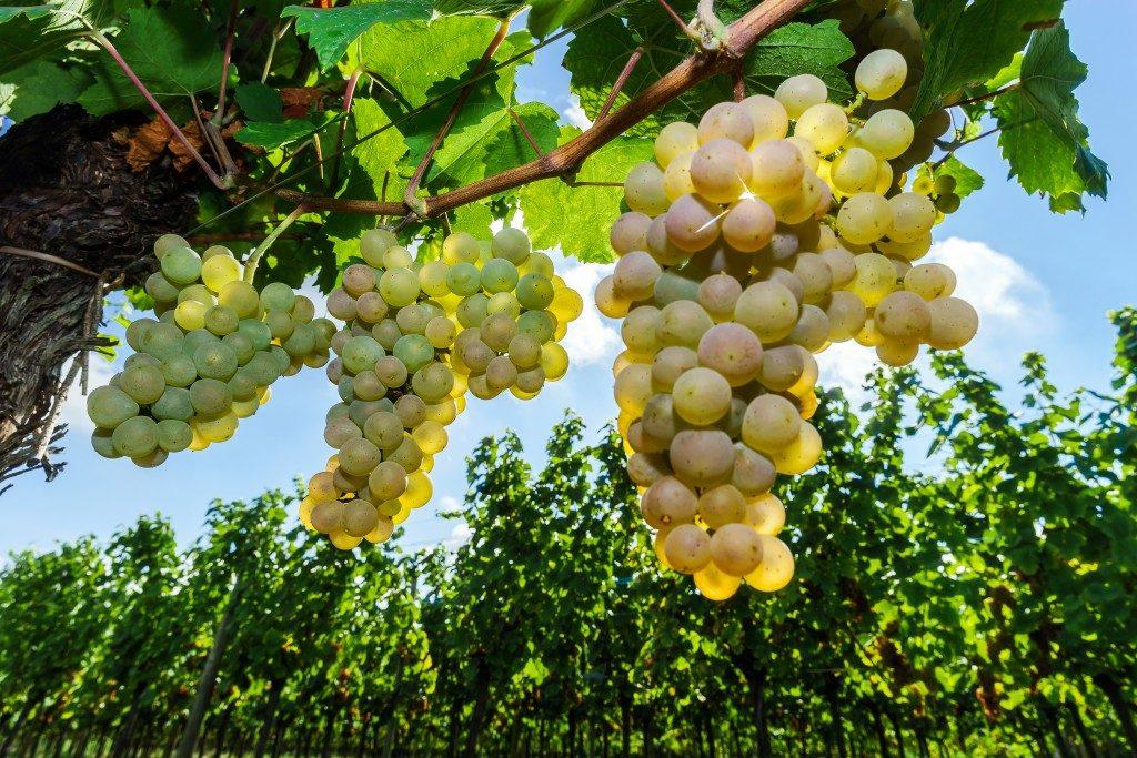 ✅ о винограде мускат белый: описание и характеристики сорта, посадка и уход - tehnomir32.ru