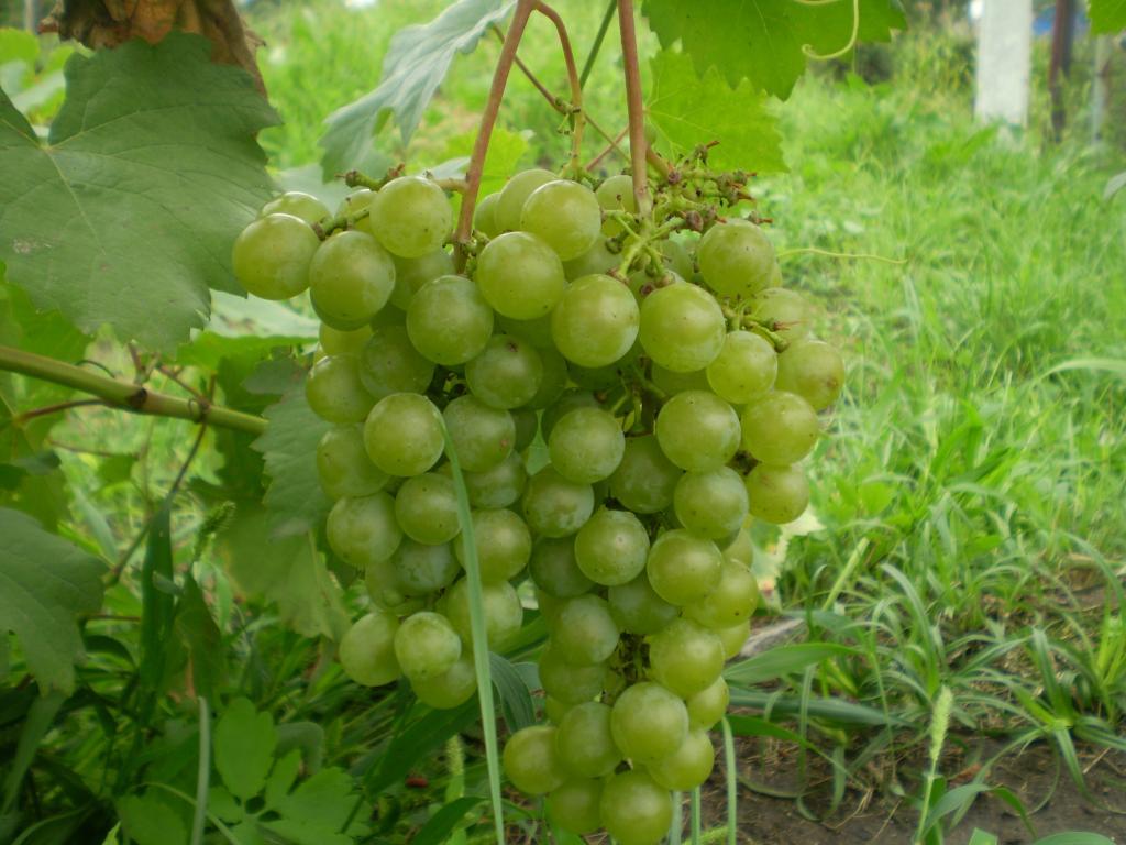 Виноград ркацители – описание сорта с фото; полезные свойства и вред