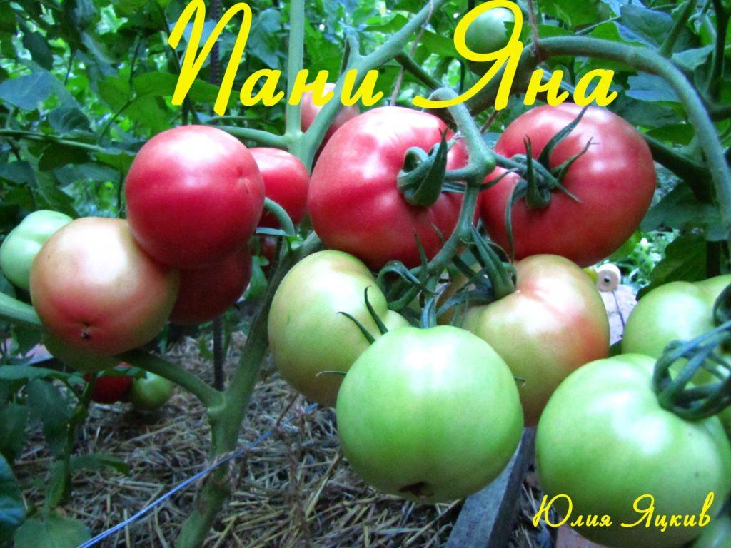 Описание сорта томата яна, особенности выращивания и урожайность – дачные дела