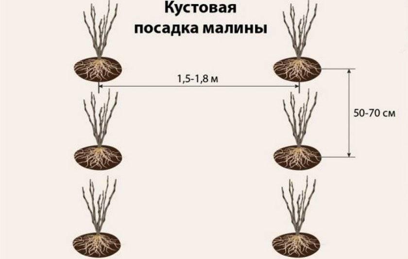 Сорт сливы неженка, описание, характеристика и отзывы, особенности выращивания
