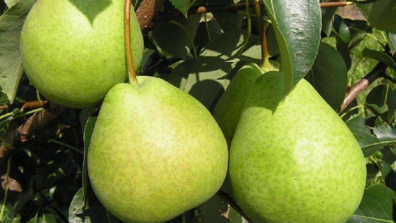 О сорте груши рогнеда: описание, особенности выращивания, как ухаживать