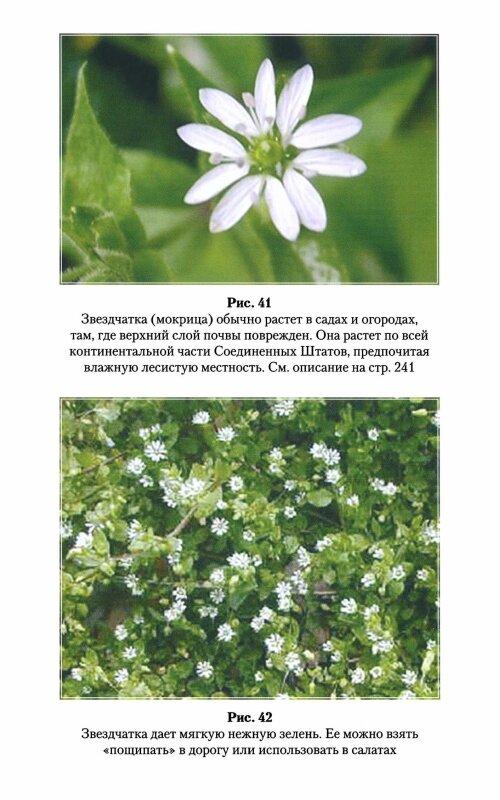 Обычный сорняк не так-то прост! лечебные свойства травы мокрицы, рецепты народной медицины