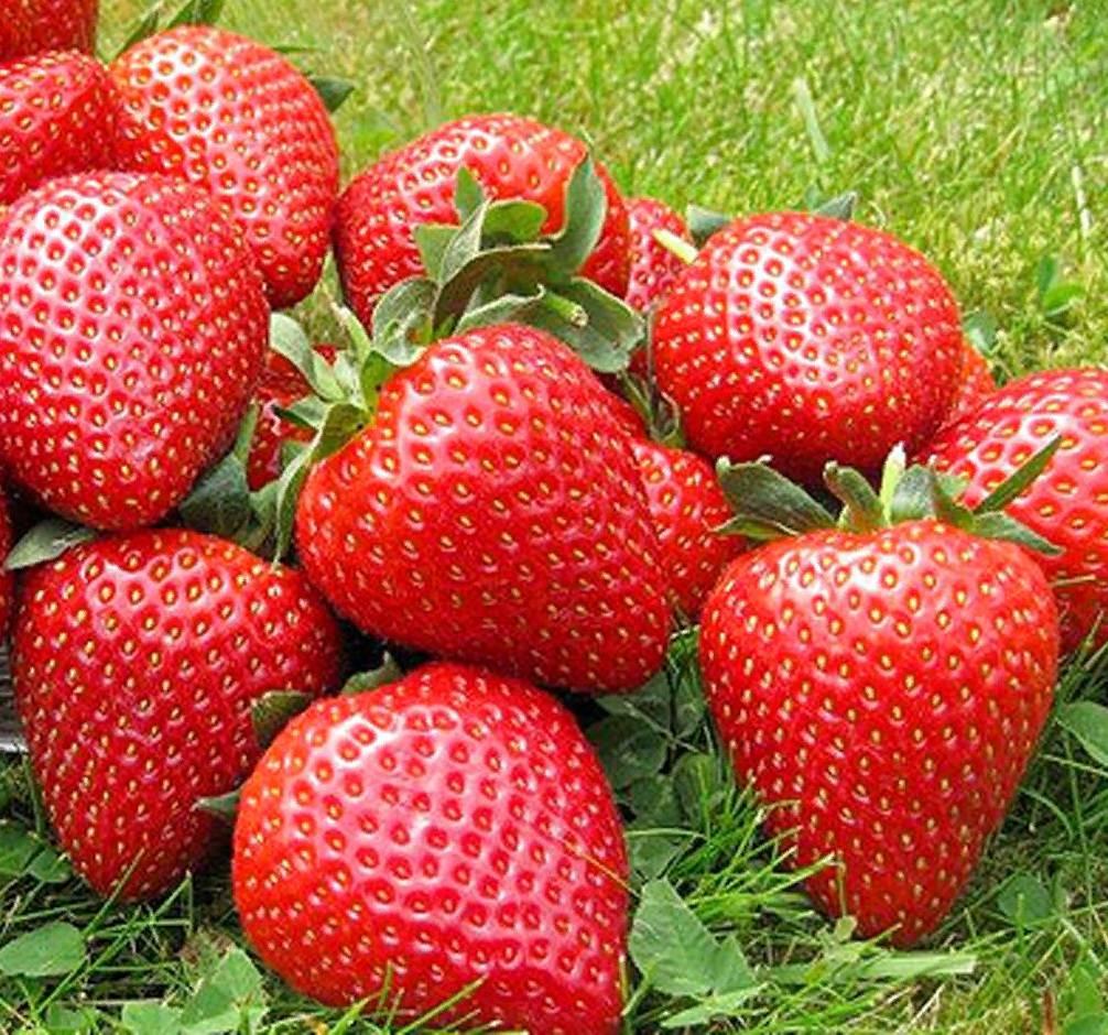 Сорт клубники сан андреас, описание сорта с характеристикой и отзывами, а также особенности посадки и выращивания, фото