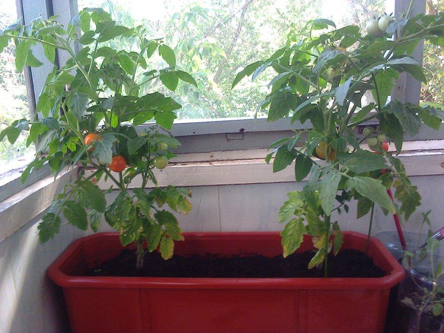 Помидоры «балконное чудо» — урожай круглый год