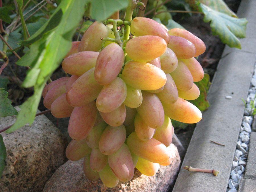 Виноград преображение: описание сорта, характеристики, полезное видео и фото selo.guru — интернет портал о сельском хозяйстве