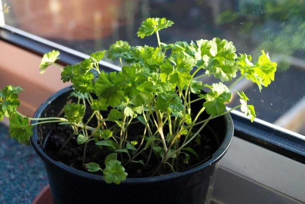 Как вырастить 100%-ный урожай укропа и петрушки на подоконнике в квартире