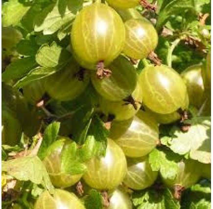 Крыжовник сорта белорусский сахарный: описание, преимущества и недостатки, уход, урожайность, фото