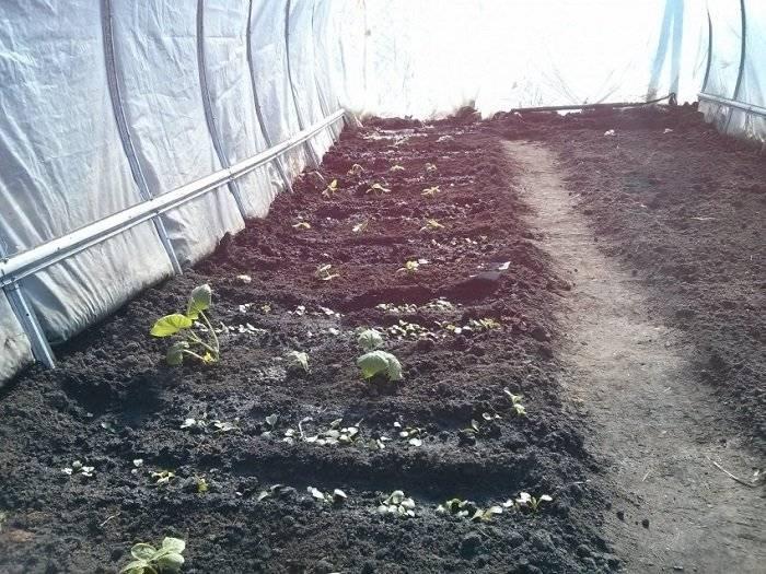Укроп: посадка в открытый грунт и в теплицу, как сажать правильно, через сколько дней всходят посаженные семена