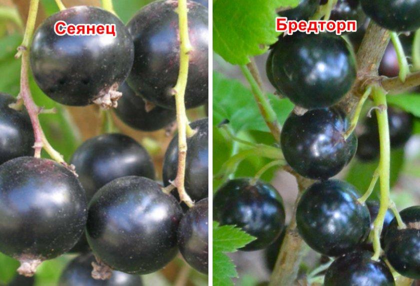 Черная смородина пигмей: описание сорта, посадка и уход за кустарником