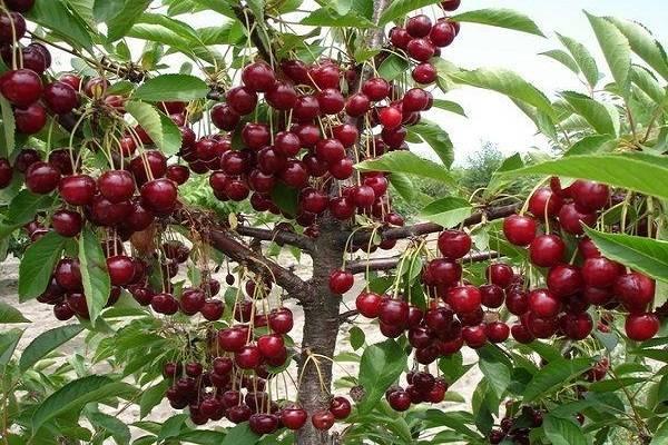 Лучшие сорта вишни для подмосковья: сладкие, самоплодные, самоопыляемые, низкорослые, карликовая, войлочная, колоновидная, отзывы садоводов