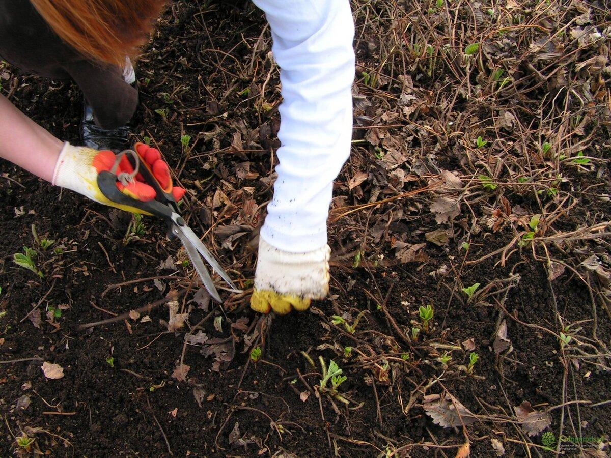 Как посадить сливу весной: тонкости и хитрости агротехники