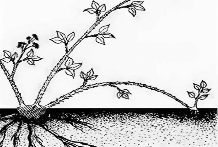 Посадка ежевики весной: сроки, преимущества, пошаговая инструкция