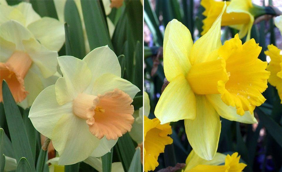 Нарцисс маунт худ: описание и характеристики сорта, посадка, уход и размножение