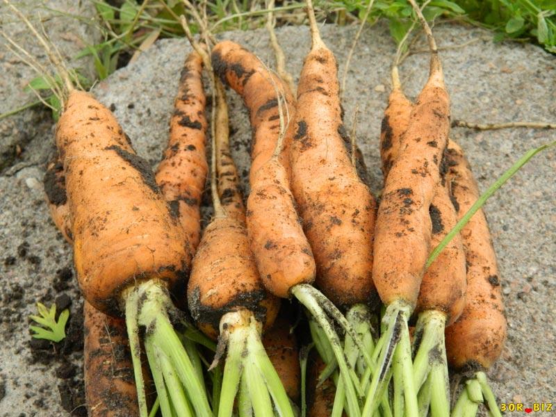 Вредители моркови и её болезни