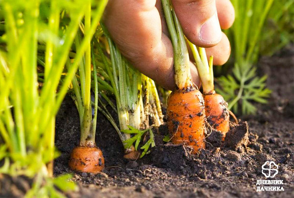 Посадка моркови: особенности весной, как сажать в открытый грунт, что делать, чтобы получить хороший урожай + видео
