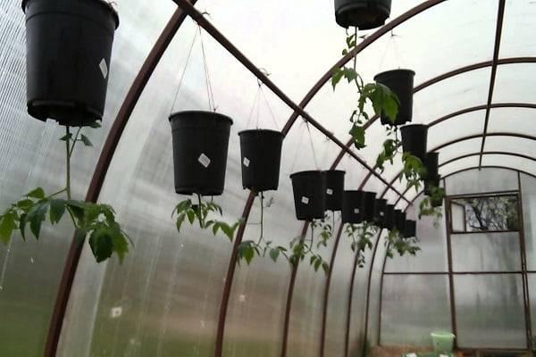 Выращивание помидоров вверх ногами в перевернутом виде
