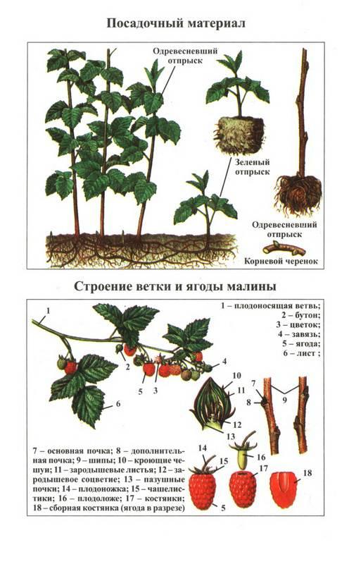 Ремонтантная малина весной: посадка, уход, полив, подкормка, обработка