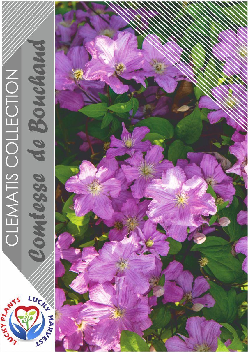 Клематис «комтесс де бушо»: описание сорта, фото и отзывы