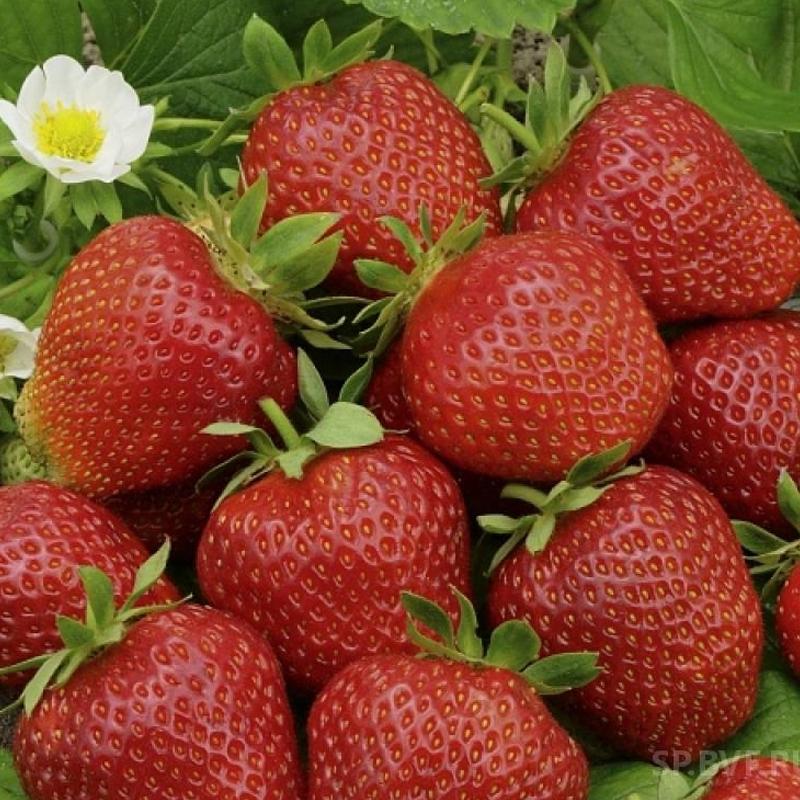 Клубника фестивальная ромашка – описание сорта, фото, отзывы садоводов