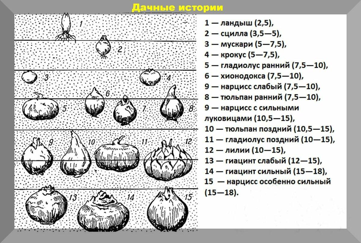 Когда осенью лучше сажать тюльпаны в Подмосковье, сроки и правила ухода