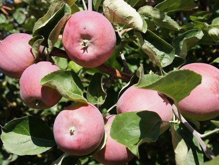 Описание и тонкости выращивания яблони сорта Беркутовское