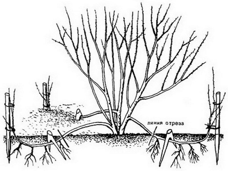 Крыжовник: посадка и уход в открытом грунте, сроки пересадки