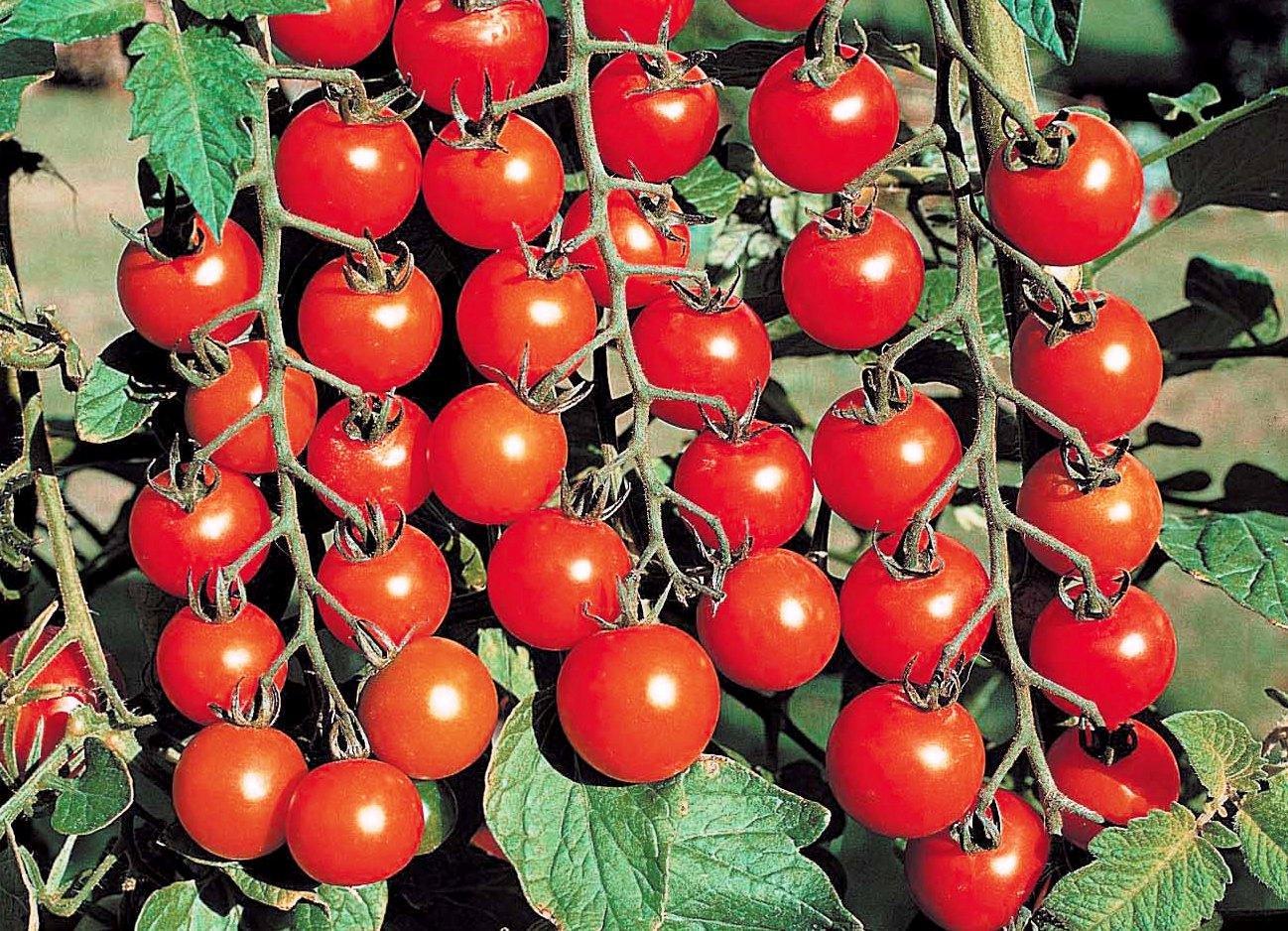Томат «черри клубничный f1»: основные характеристики сорта и советы по выращиванию этого помидора русский фермер