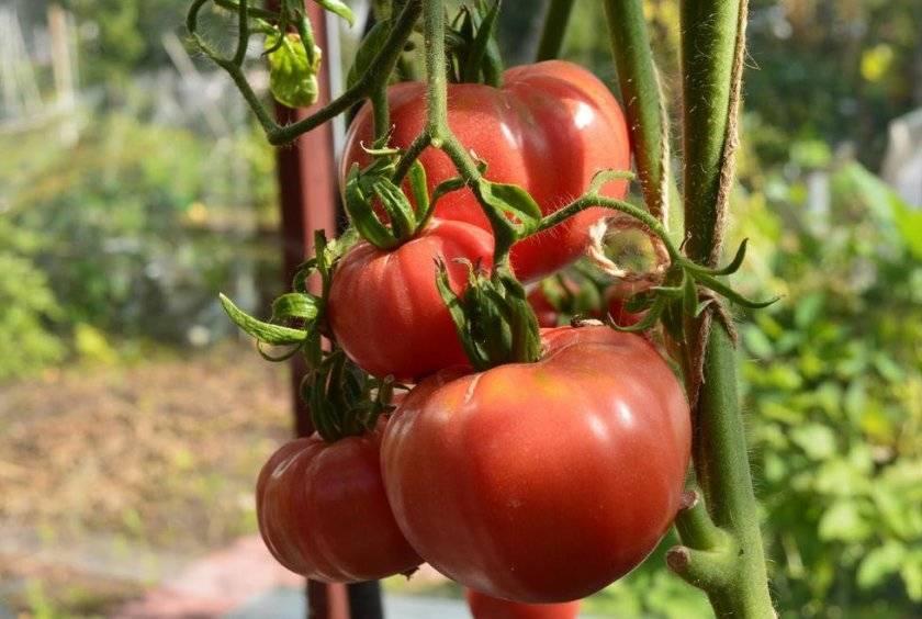 """Томат """"дикая роза"""": характеристика и описание сорта, рекомендации по выращиванию помидоров русский фермер"""