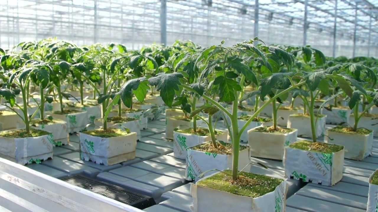 Выращивание и разведение клубники по голландской технологии в теплице круглый год: пошаговая инструкция с фото и видео