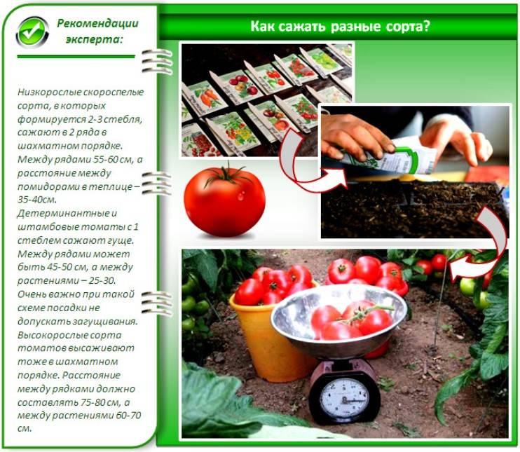 Помидоры: посадка и уход, как вырастить из семян в открытом грунте, фото