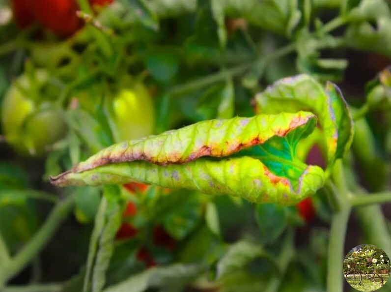 Почему у рассады перца скручиваются листья: причины, что делать фото