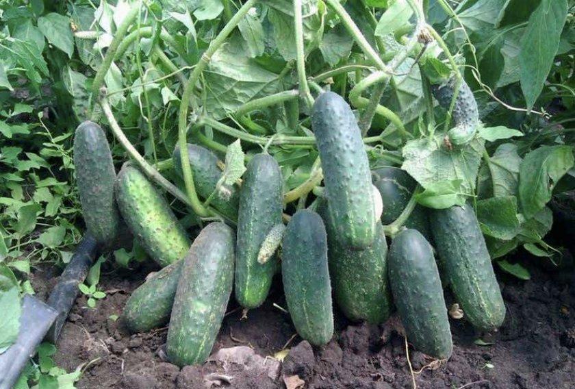 Огурец эколь f1: описание сорта, фото, отзывы и урожайность