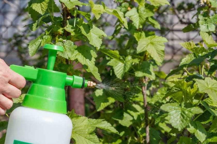 Чем обработать виноград от вредителей и болезней: какими препаратами лучше опрыскивать