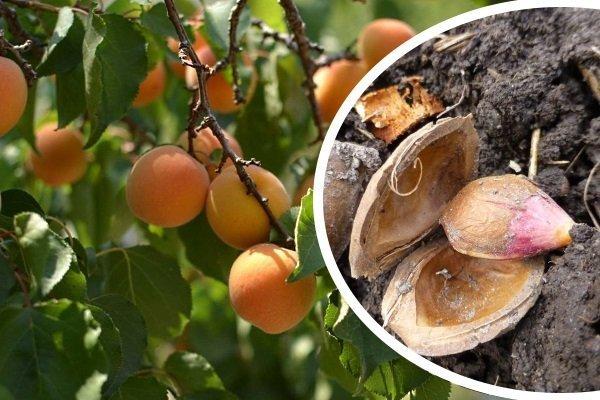 Как посадить абрикос косточкой – отбор семян и возможные проблемы