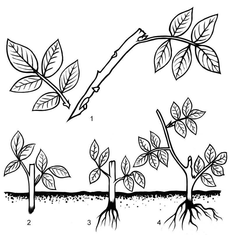 Как размножается облепиха — разбираем вместе