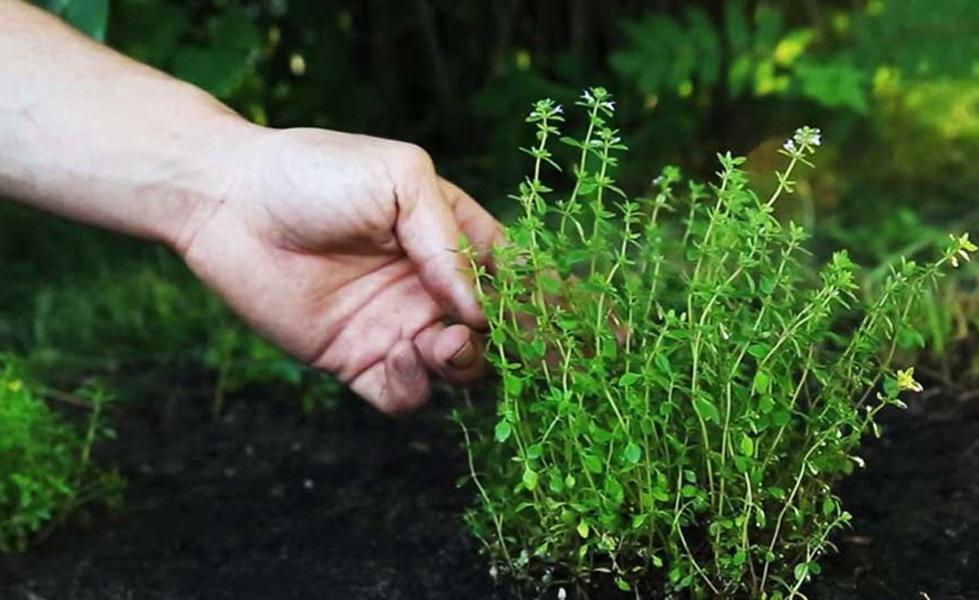 Посадка, выращивание и уход за тимьяном ползучим в открытом грунте в домашних условиях