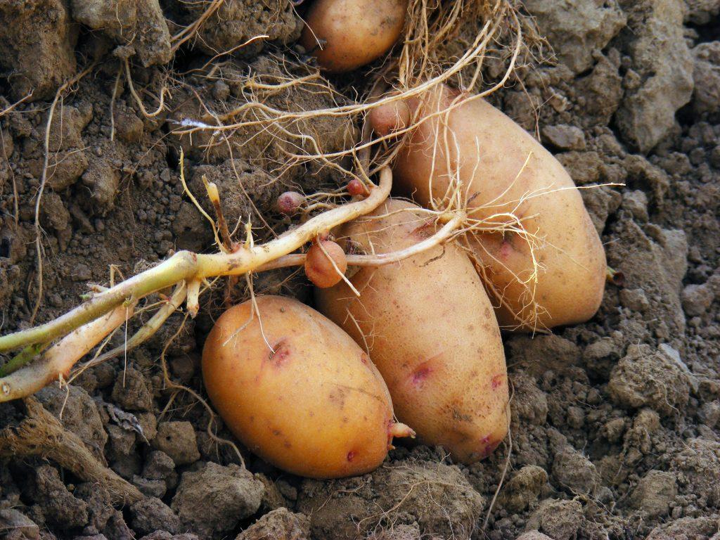 Описание сорта картофеля лорх