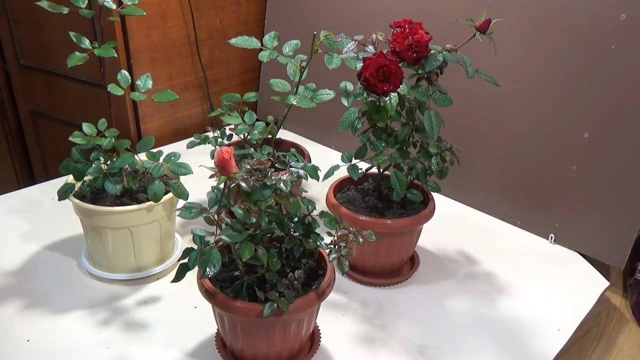 Роза кордана – секреты правильного ухода